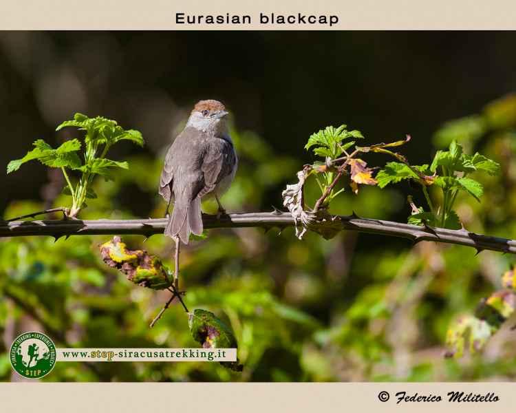 Eurasian blackcap