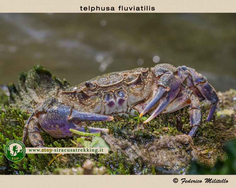 Telphusa fluviatilis